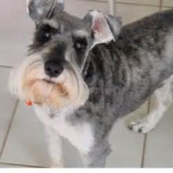 miniature schnauzer small dog breeds