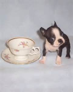Best Images About Teacup Bostons On Pinterest Teacup