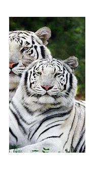 Pair Of Tigers Wallpaper Hd Mobile Phone And Pc ...