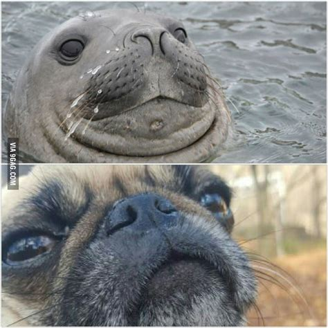 pug   seal  resemblances  uncanny  hysterical