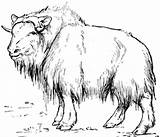 Ox Musk Age Animals Tundra Animal Stone Template Muskox Moschatus Ovibos Coloring Pages Ice sketch template