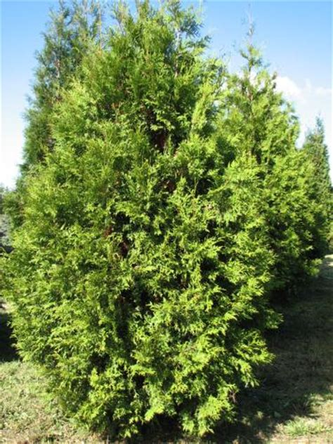 thuja occidentalis brabant rich s foxwillow pines nursery inc thuja occidentalis brabant eastern arborvitae