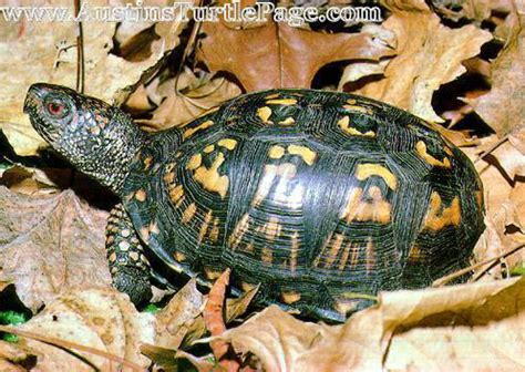 Heat Ls For Box Turtles by Care Sheet Eastern Box Turtle