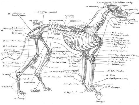 Detailed Anatomical Drawing By