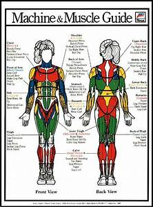 Another Chart Of Muscle Groups  It Is Important To Know