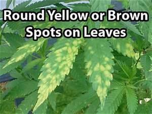 Marijuana Nutrient Problems Symptoms By Picture Grow