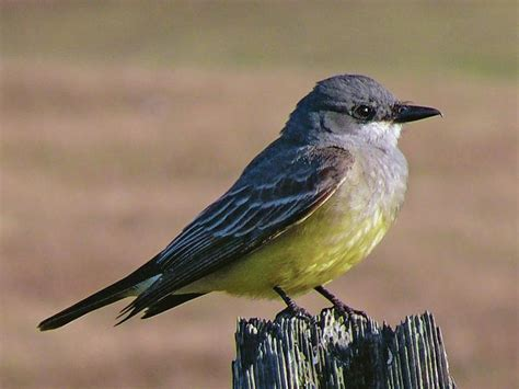 Bird Fe by For The Birds Western Kingbirds Common In Santa Fe The