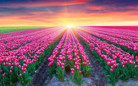 wallpaper tulips field pink tulips netherlands sunrise