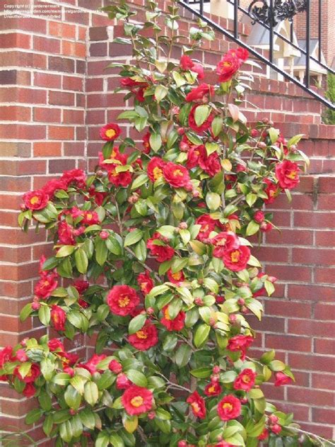 are camellias edible 145 best images about edible landscape plants on pinterest trees shrubs and edible flowers