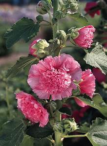 Chater39s Rose Pink Hollyhock Seeds Kings Seeds