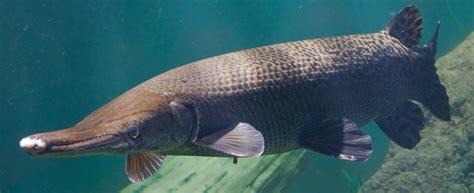 alligator gar tennessee aquarium
