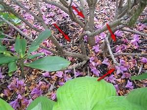 Wann Blüht Der Rhododendron : rhododendron richtig schneiden gr ser im k bel berwintern ~ Eleganceandgraceweddings.com Haus und Dekorationen