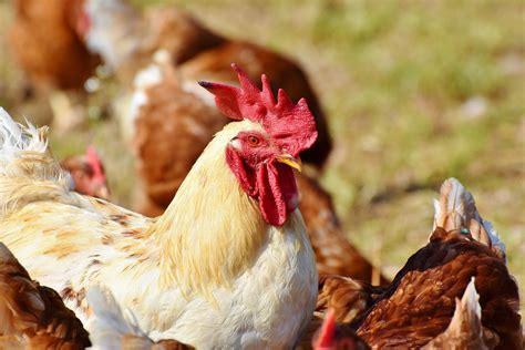 Avian flu is also known as bird flu. Czechs detect bird flu as new Europe outbreak feared - Science Spies