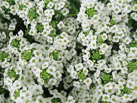 sweet alyssum more than just veggies flowers and decorative plants you can eat north texas vegetable