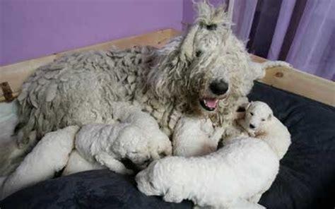 perros de raza komondor