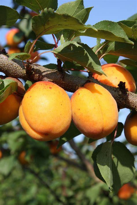 Apricot Gold Cot - botanicaplantnursery.co.uk