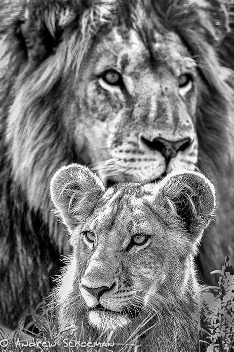 Father and Son by Andrew Schoeman on 500px | Female lion tattoo, Lion tattoo, Lioness tattoo