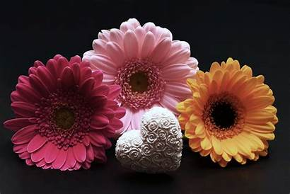 Gerbera Flower Heart Pink Flowers Valentines Daisy
