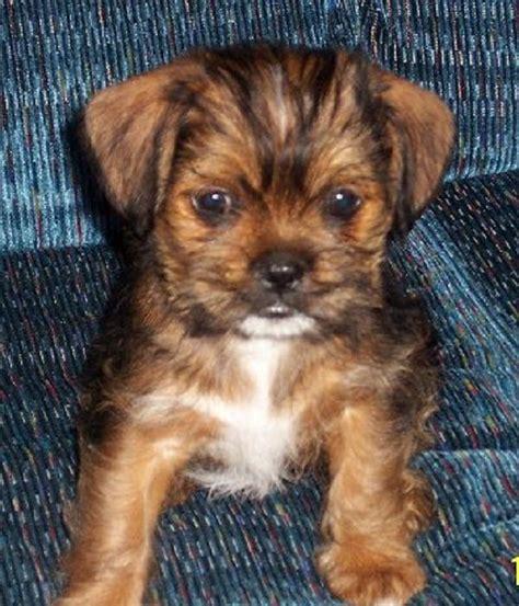 chihuahua shih tzu mix puppies  sale zoe fans blog