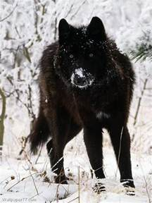 Black German Shepherd Alaskan Malamute Mix