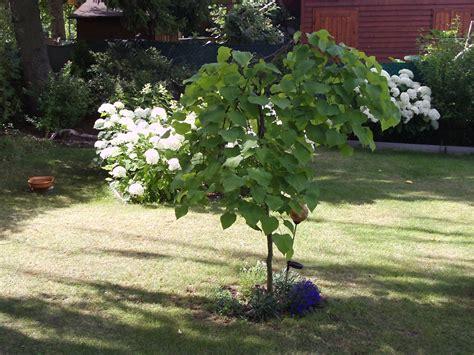 haengender judasbaum gartenelfe