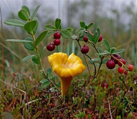 1000+ Images About Edible Wild Plants  Mushrooms On