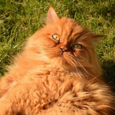 cat breeds msah metairie small animal hospital