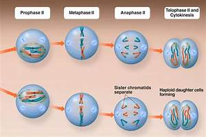 26 Meiosis 1 And 2 Diagram