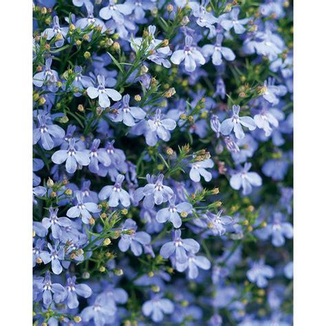 light blue flowers proven winners laguna sky blue lobelia live plant light