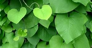 Immergrüne Kletterpflanzen Schattiger Standort : pfeifenwinde 60 100 ab 17 80 euro beispiele f r ~ Michelbontemps.com Haus und Dekorationen