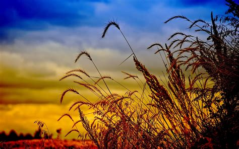 Dusk Wheat Field High Quality Background Wallpaper 0293 ...