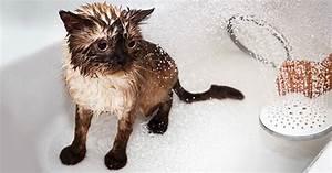 Laver Un Chaton : comment laver son chat propret du chat wamiz ~ Nature-et-papiers.com Idées de Décoration