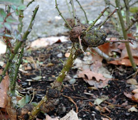 Crown Gall Disease Of Nursery Crops  Pacific Northwest