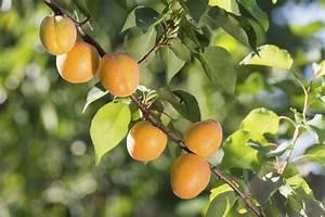 Was Brauchen Pflanzen Zum Wachsen : aprikosenbaum pflanzen tipps zum vorgehen nutzpflanzen garten ~ Frokenaadalensverden.com Haus und Dekorationen