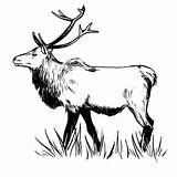 Elk Zentangle Template Pages Printable Drawings Sketch Deer American Templates sketch template