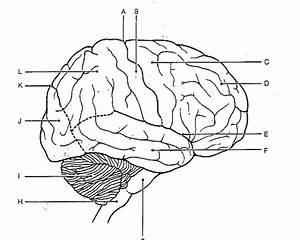 Drawn Brain Labled