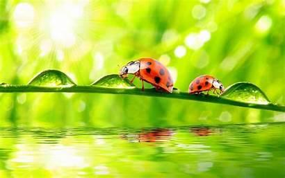 Ladybug Animal Ladybugs Bug