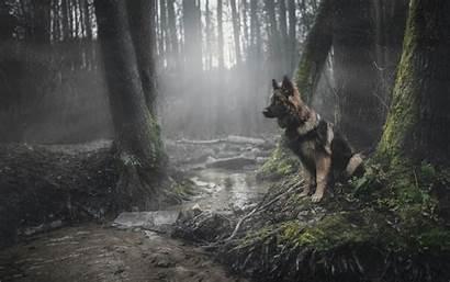 Shepherd German Dog Forest Pastor Animals Desktop