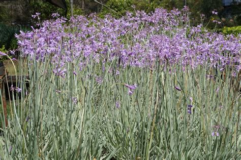 Nursery Plants Online by Buy Tulbaghia Violacea Variegata Variegated Society