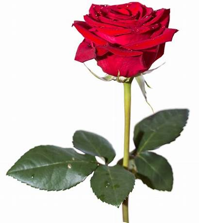 Rose Flowers Flower Bouquet Vine Transparent Pngpix