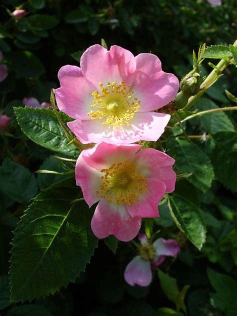 wild rose dog rose  seeds  post
