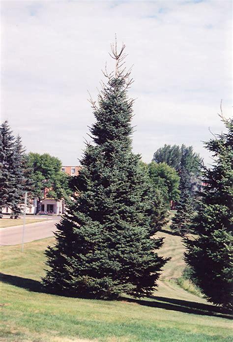 black hills spruce picea glauca densata  inver grove
