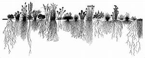 The Root Systems Of Different Prairie Plants  Modified From United