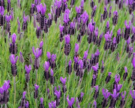 Lavandula Stoechas Spanish Lavender Seeds Purple Fragrant