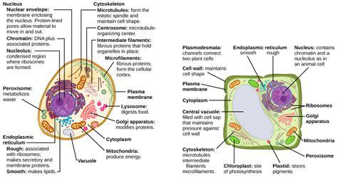 eukaryotic cells bio  general biology