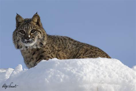 Wildlife photos of animals living near Glacier National ...