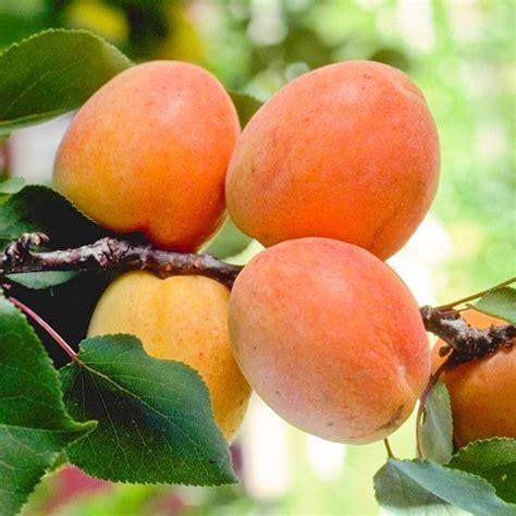 Tilton Apricot Tree   Gurney's Seed & Nursery Co.