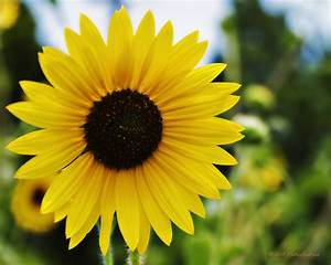 Common Sunflower Photograph by Walter Herrit