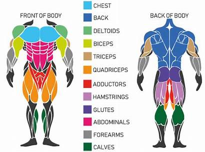 Muscle Workout Build Equipment Hip Groups Pull