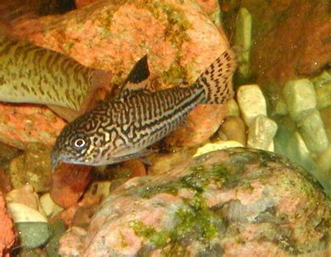 freshwater bottom feeders our freshwater aquarium page